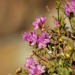 Rhododendron lapponicum - Lappland-Alpenrose