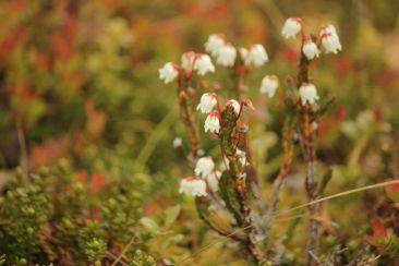 Cassiope tetragona in Zwergstrauchheiden im Tal