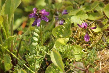 Astragulus alpinus wächst an Wegrändern und in der krautigen Zone
