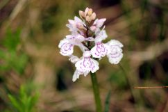 D. maculata: Unterlippte mit nicht vollständig durchgängigem Muster | © Christine Riel