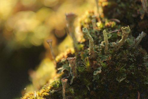 Flechte des Typs Cladonia mit deformierten Bechern | © Christine Riel