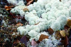 Cladonia stellaris - Rentierflechte | © Christine Riel