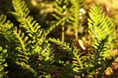 Polypodium vulgare - Gewöhnlicher Tüpfelfarn | © Christine Riel