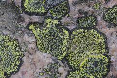 Landkartenflechten | © Johannes Hansen