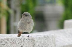 Hausrotschwanz Jungvogel   © Christine Riel
