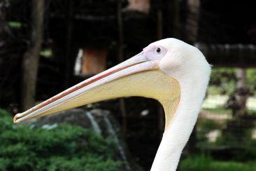 Pelikan mit Unterschnabelfangsack   © Christine Riel
