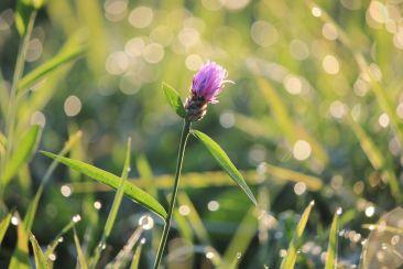 Flockenblume in der Morgensonne | © Christine Riel